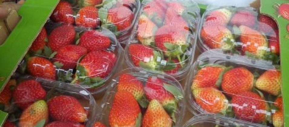 تصدير 3 أطنان فراولة من غزة لدول خليجية لأول مرة